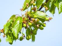 Cerises vertes sur le cerisier dans le printemps Images stock
