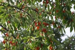 Cerisier Image stock