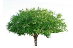Cerisier Photo stock