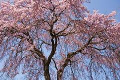 Cerisier photos libres de droits