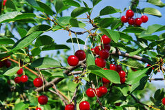 Cerisier aigre Images libres de droits