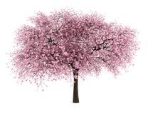 Cerisier aigre d'isolement sur le blanc Images libres de droits