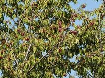Cerisier avec les cerises rouges images libres de droits