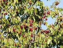 Cerisier avec les cerises rouges images stock