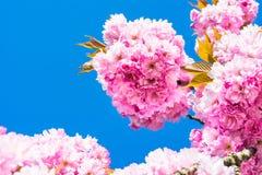 Cerisier chinois Photographie stock