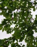 Cerisier lizenzfreie stockbilder