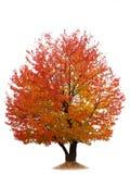 Cerisier d'automne d'isolement sur le blanc Images stock