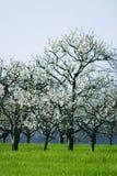 Cerisier dans la fleur image stock