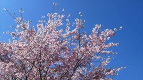 Cerisier dans la pleine fleur, Munich, Allemagne clips vidéos
