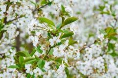Cerisier dans le jardin Photos stock