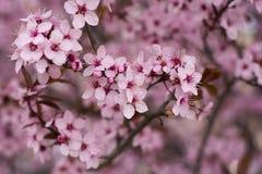 Cerisier dans le plein temps de fleur au printemps Photographie stock libre de droits