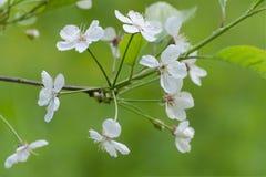 Cerisier de Ð'looming Les fleurs se ferment Foyer sélectif image libre de droits