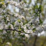 Cerisier de fleur Image libre de droits