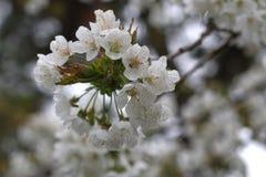 Cerisier de fleur photo libre de droits