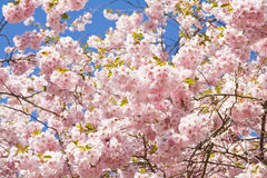 Cerisier de floraison Photos stock