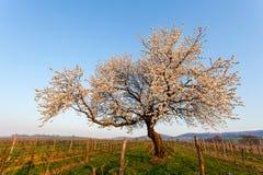 Cerisier de floraison Photos libres de droits