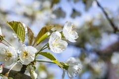 Cerisier de floraison Photo stock