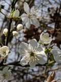 Cerisier de floraison au printemps photos stock