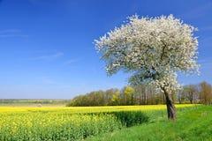 Cerisier de floraison avec le gisement de graine de colza photo stock