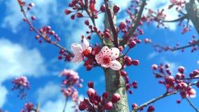 Cerisier de floraison avec les fleurs roses Images stock