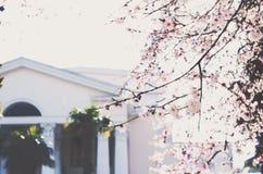 Cerisier de floraison dans une ville photo stock