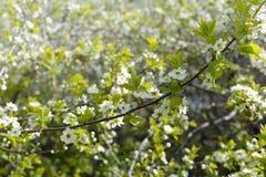 Cerisier de floraison Embranchez-vous avec les fleurs blanches et les feuilles tendres de jeunes Images stock