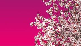 Cerisier de floraison de Sakura sur le fond rose banque de vidéos