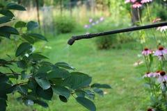 Cerisier de pulvérisation avec le pulvérisateur de main de jardin Photo libre de droits