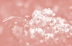 Cerisier en fleur photos libres de droits