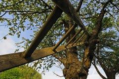 Cerisier et échelle image libre de droits
