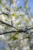 Cerisier fleurissant Images libres de droits