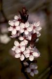 Cerisier fleurissant photographie stock libre de droits