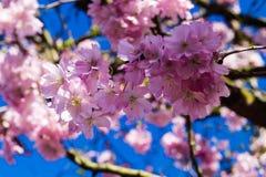 Cerisier fleurissant photos stock