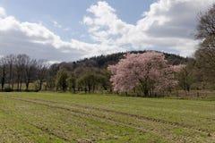 Cerisier japonais au printemps, avec la forêt de Teutoburg à l'arrière-plan, la basse-saxe, Allemagne Photographie stock libre de droits