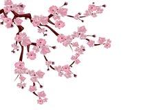 Cerisier japonais Branche de propagation des fleurs de cerisier roses D'isolement sur le fond blanc Illustration Photos stock