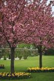 Cerisier japonais dans la fleur photos libres de droits