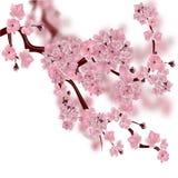 Cerisier japonais La branche rose pelucheuse de fleurs de cerisier sur le fond blanc avec un fond brouillé illustration de vecteur
