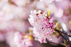 Cerisier japonais rose dans le jardin dans le printemps Images stock