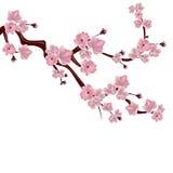 Cerisier japonais Une branche des fleurs de cerisier roses Sur le fond blanc Illustration Photographie stock libre de droits