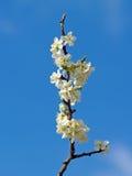 Cerisier sur la fleur photo libre de droits