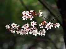 Cerisier sur la fleur photos libres de droits