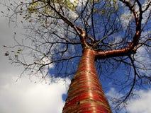Cerisier tibétain Images libres de droits
