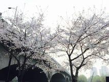 Cerisiers au printemps photographie stock libre de droits