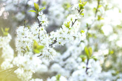 Cerisiers de floraison Photo libre de droits