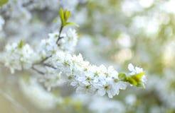 Cerisiers de floraison image libre de droits