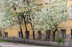 Cerisiers de floraison sur le fond d'une vieille maison images libres de droits