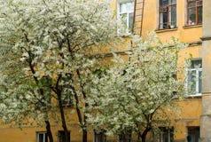 Cerisiers de floraison sur le fond d'une vieille maison jaune photographie stock