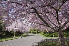 Cerisiers en fleur Photo libre de droits
