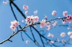 Cerisiers en parc de Carmo Photo libre de droits