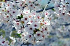 Cerisiers fleurissant en parc photographie stock libre de droits